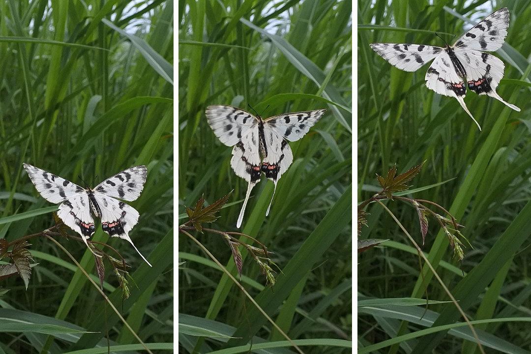 Papillon asiatique, ホソオチョウ夏型出現(2019/07/03・08)荒川_d0387460_10212715.jpg