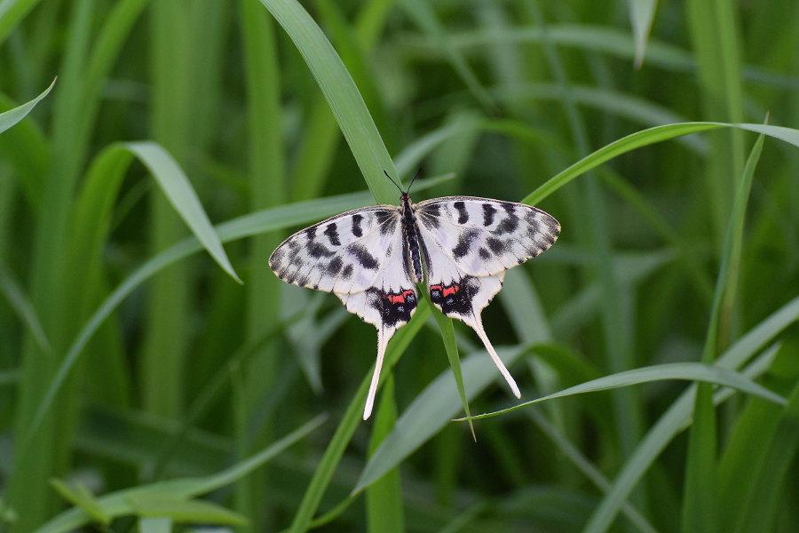 Papillon asiatique, ホソオチョウ夏型出現(2019/07/03・08)荒川_d0387460_10215120.jpg
