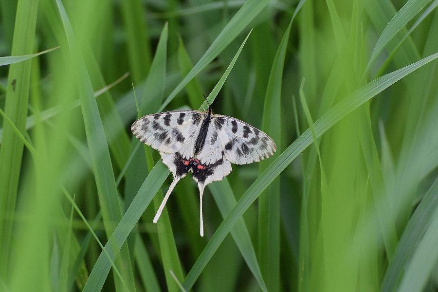 Papillon asiatique, ホソオチョウ夏型出現(2019/07/03・08)荒川_d0387460_10222779.jpg