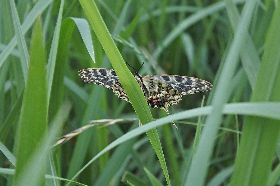 Papillon asiatique, ホソオチョウ夏型出現(2019/07/03・08)荒川_d0387460_10223797.jpg