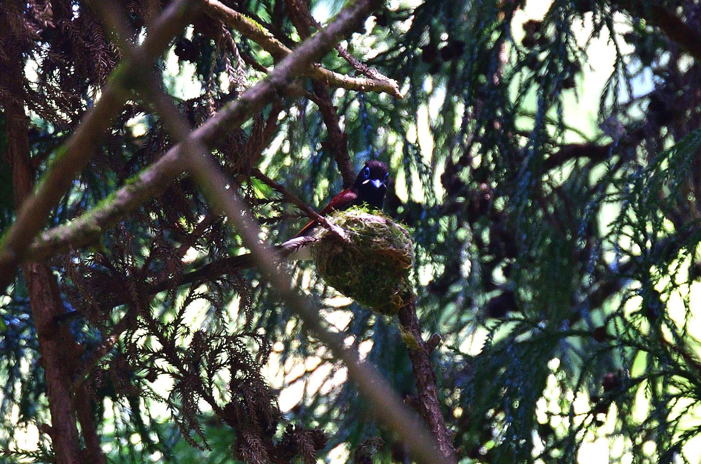 サンコウチョウの巣作り!_e0362696_17083802.jpg