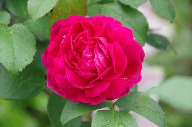 2番花が咲き出したマイガーデンのオセロ_b0356401_21415965.jpg