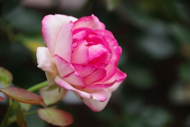 2番花が咲き出したマイガーデンのオセロ_b0356401_21421943.jpg