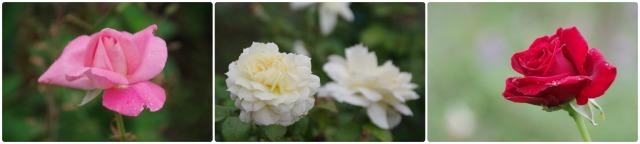 2番花が咲き出したマイガーデンのオセロ_b0356401_21422918.jpg