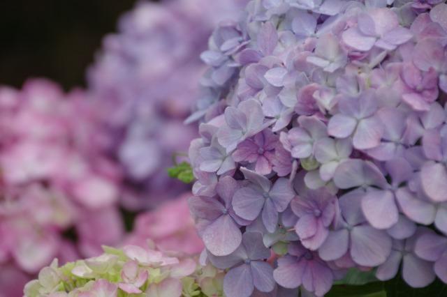 2番花が咲き出したマイガーデンのオセロ_b0356401_21473466.jpg