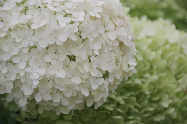 2番花が咲き出したマイガーデンのオセロ_b0356401_21474022.jpg