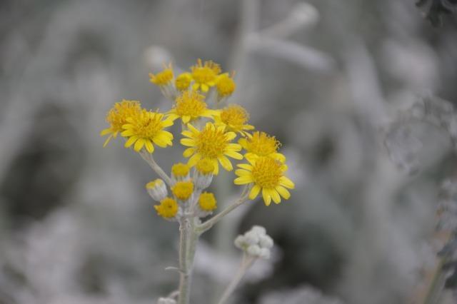 2番花が咲き出したマイガーデンのオセロ_b0356401_21475283.jpg