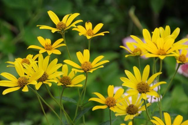 2番花が咲き出したマイガーデンのオセロ_b0356401_21475970.jpg