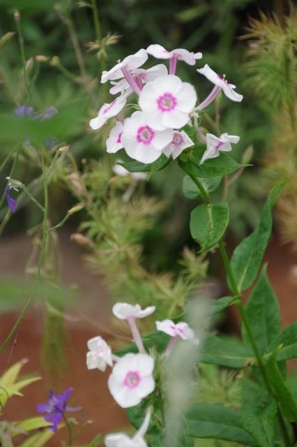 2番花が咲き出したマイガーデンのオセロ_b0356401_21481362.jpg