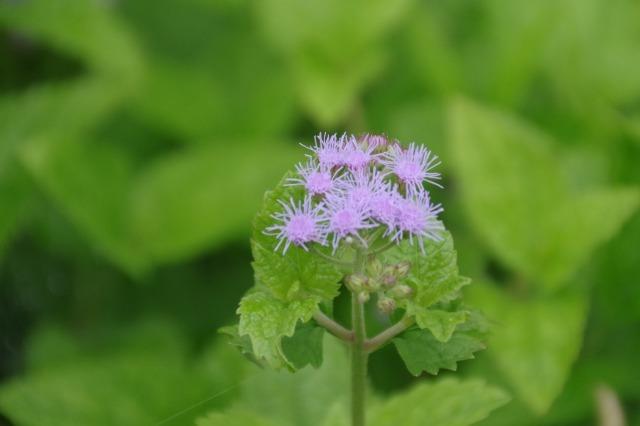 2番花が咲き出したマイガーデンのオセロ_b0356401_21482487.jpg