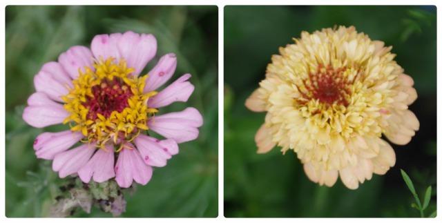 2番花が咲き出したマイガーデンのオセロ_b0356401_21484724.jpg
