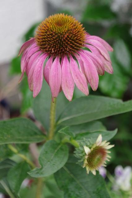 2番花が咲き出したマイガーデンのオセロ_b0356401_21485532.jpg