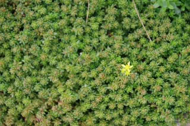 2番花が咲き出したマイガーデンのオセロ_b0356401_21490452.jpg