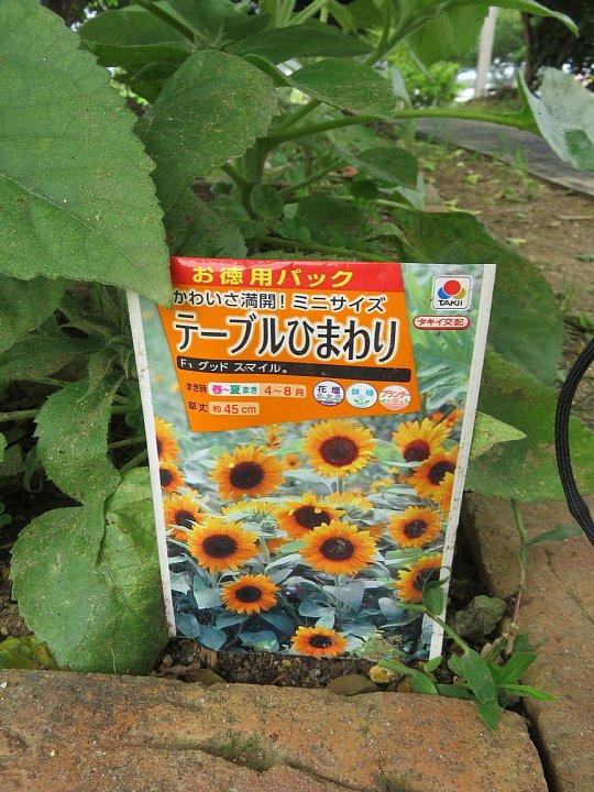 2019年7月30日 ヒマワリの花が咲く !(^^)!_b0341140_354315.jpg