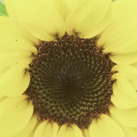 2019年7月30日 ヒマワリの花が咲く !(^^)!_b0341140_3594393.jpg