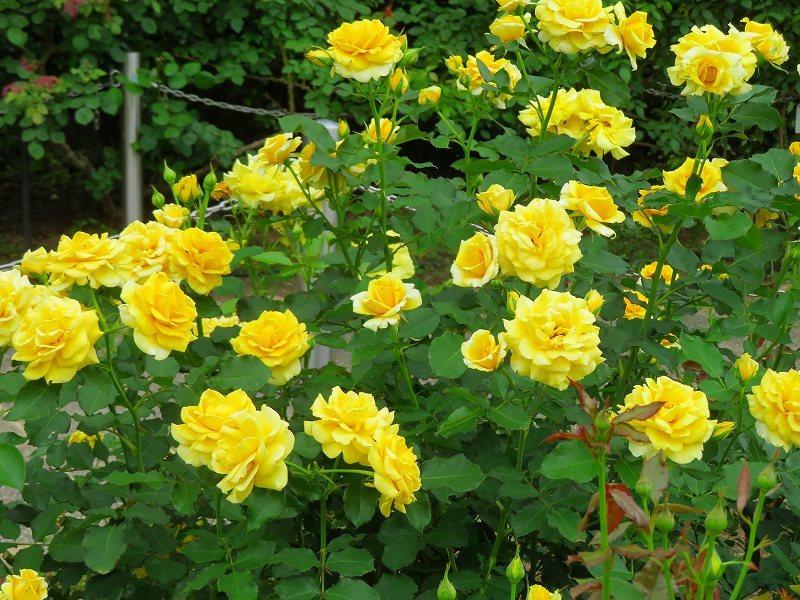 何時までも咲かし続ける「バラの花」20190710_e0237645_13160127.jpg