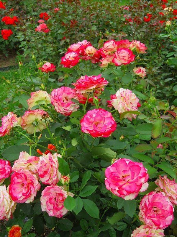 何時までも咲かし続ける「バラの花」20190710_e0237645_13160208.jpg