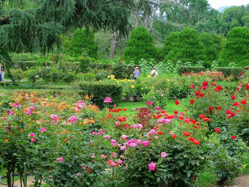 何時までも咲かし続ける「バラの花」20190710_e0237645_13160221.jpg