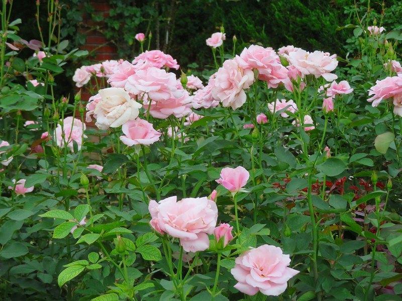 何時までも咲かし続ける「バラの花」20190710_e0237645_13170329.jpg