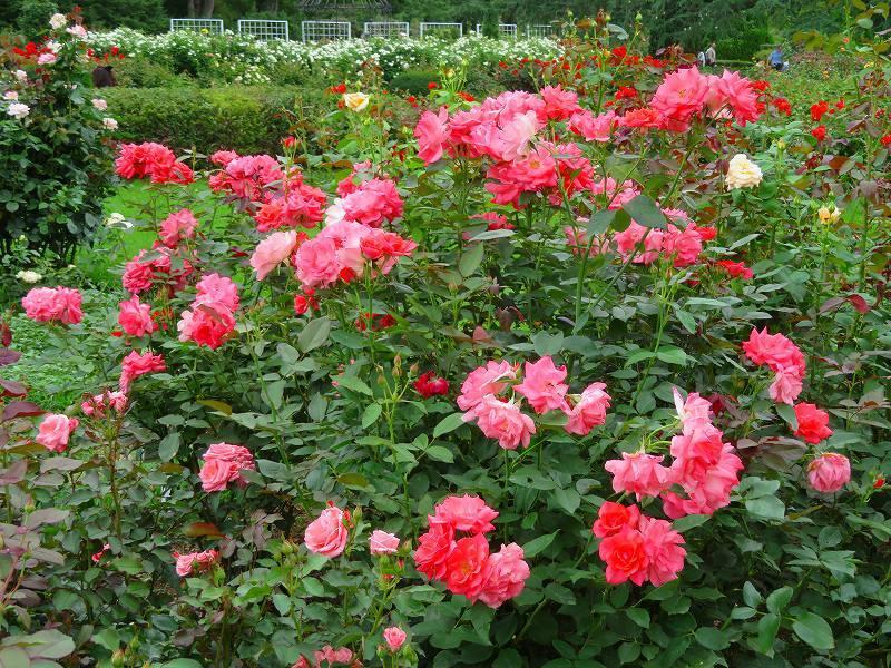 何時までも咲かし続ける「バラの花」20190710_e0237645_13170333.jpg