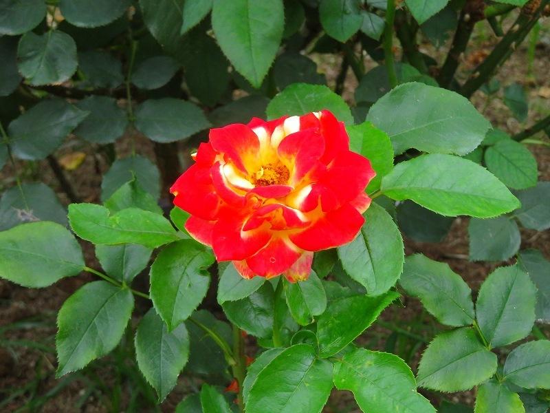 何時までも咲かし続ける「バラの花」20190710_e0237645_13170335.jpg
