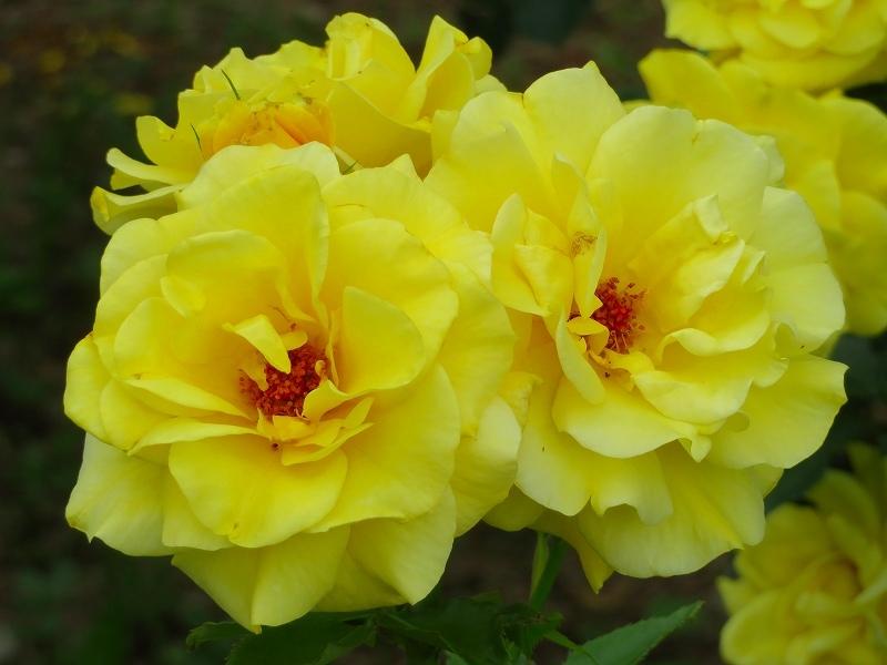 何時までも咲かし続ける「バラの花」20190710_e0237645_13172941.jpg