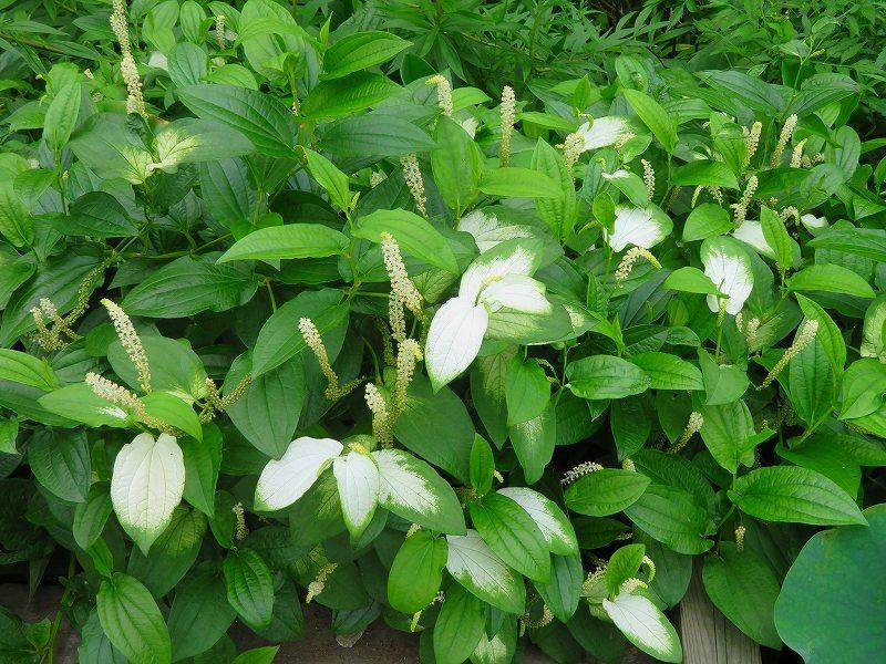 植物園の花々20190710_e0237645_14205189.jpg