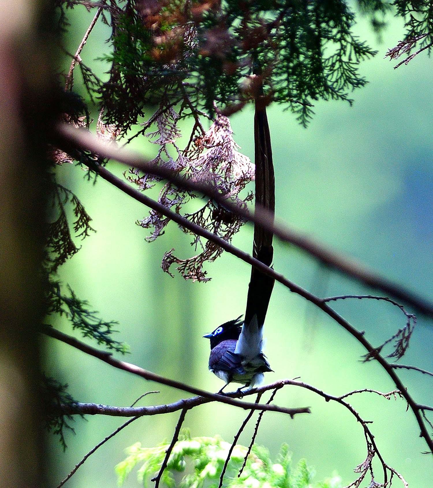 サンコウチョウの巣作り!_e0362696_17415720.jpg