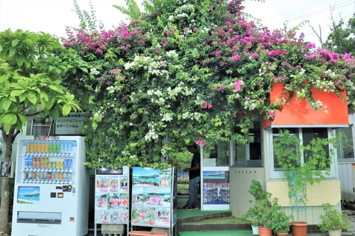 一夜しか咲かない「サガリバナ」を見に沖縄観光へ_d0150720_18003413.jpg