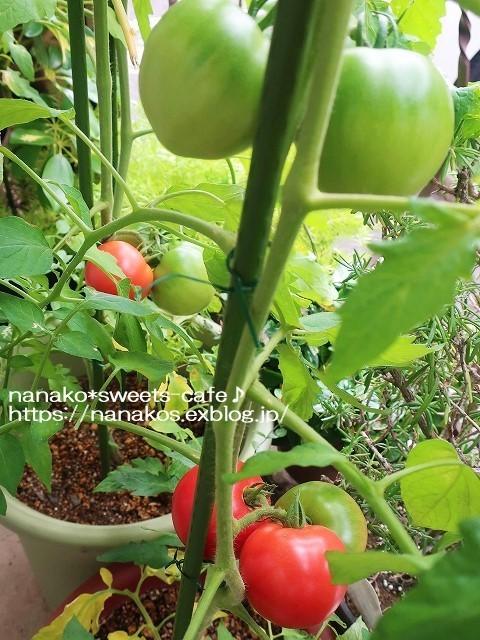 トマト収穫_d0147030_20475717.jpg