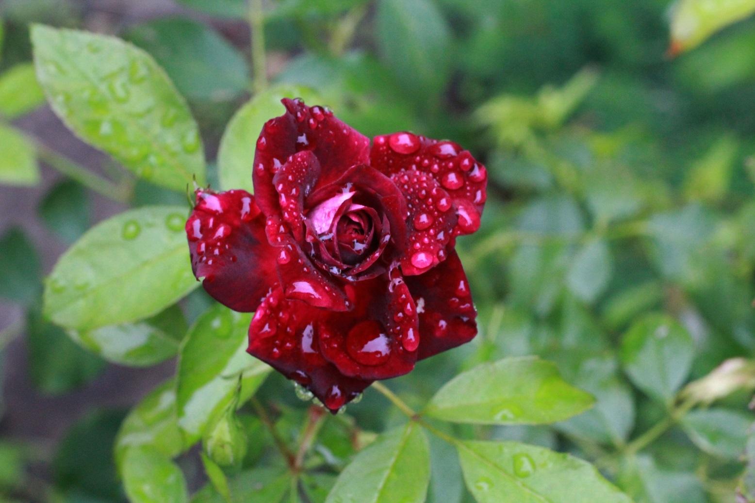 雨に濡れたバーガンディ―アイスバーグ_a0107574_16144957.jpg