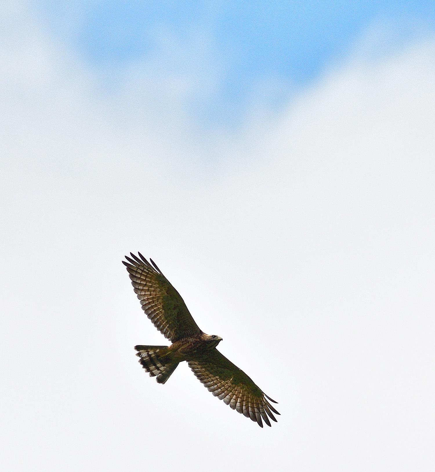 サシバの幼鳥!_e0362696_17001808.jpg
