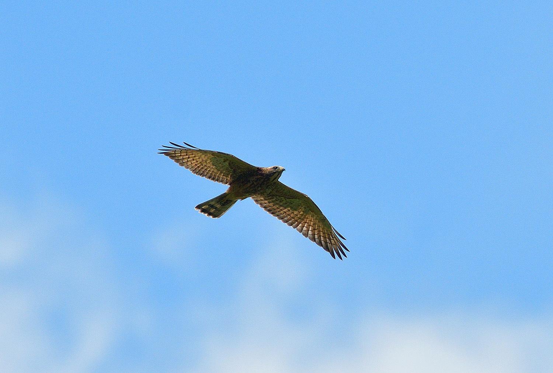 サシバの幼鳥!_e0362696_17002383.jpg