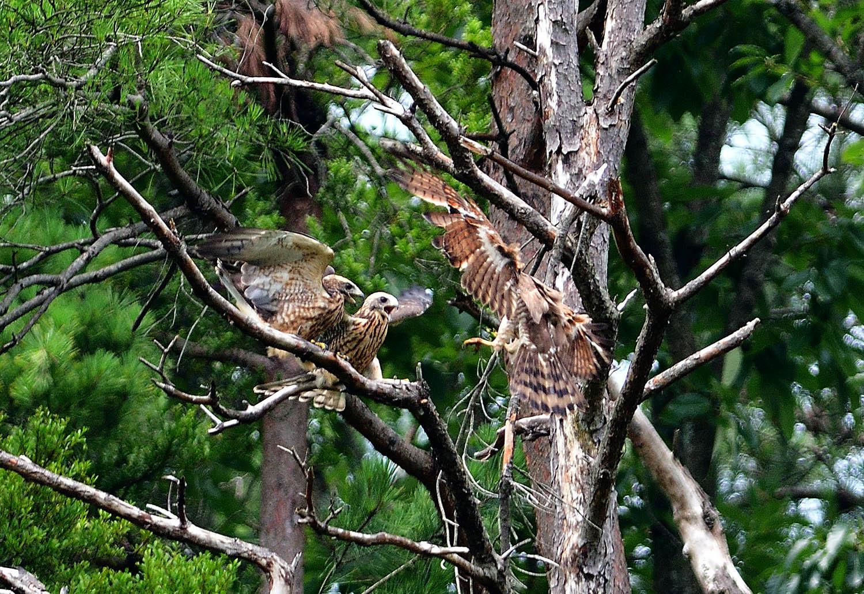 サシバの幼鳥!_e0362696_17004877.jpg