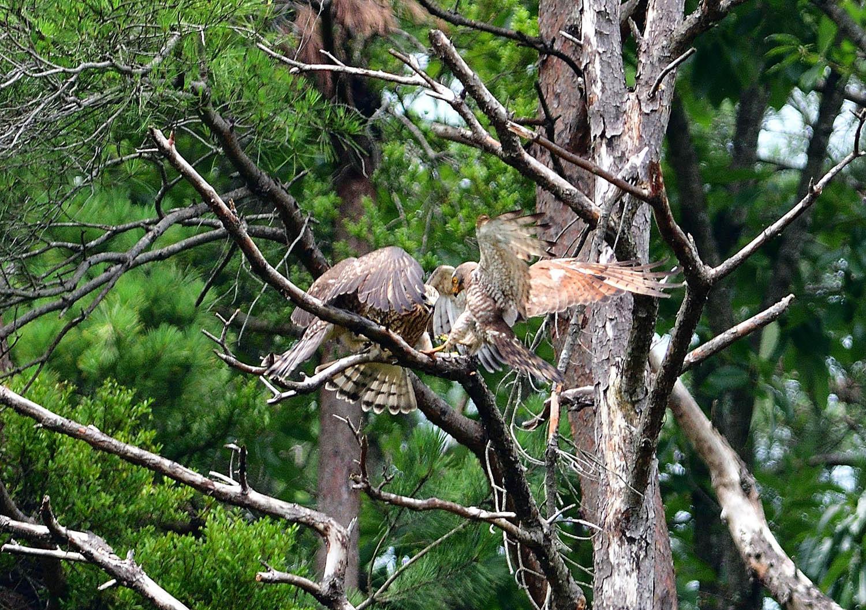 サシバの幼鳥!_e0362696_17005293.jpg