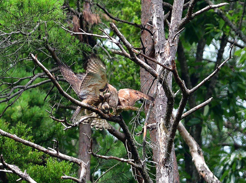 サシバの幼鳥!_e0362696_17005884.jpg