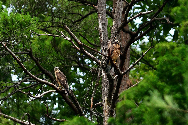 サシバの幼鳥!_e0362696_17011435.jpg