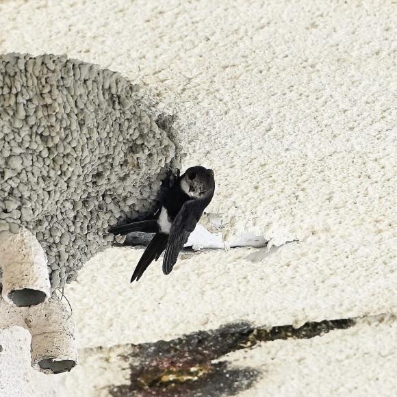初見初撮りのヒメアマツバメ Ⅱ   OHG_d0346713_21151789.jpg