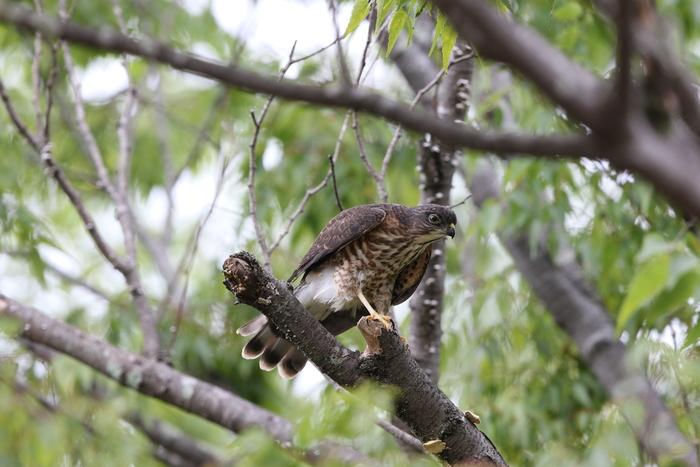 ツミの幼鳥 その3(日々成長)_f0239515_1922991.jpg