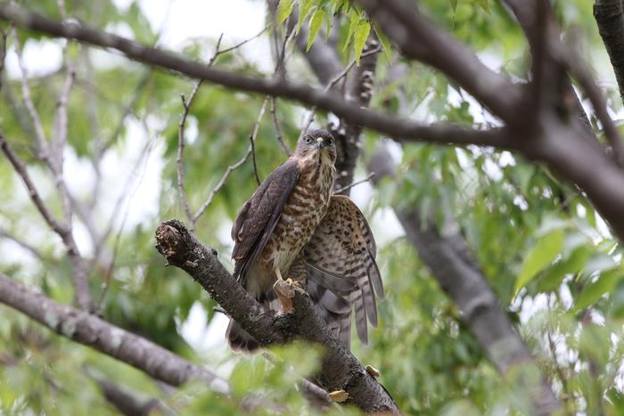 ツミの幼鳥 その3(日々成長)_f0239515_19285690.jpg