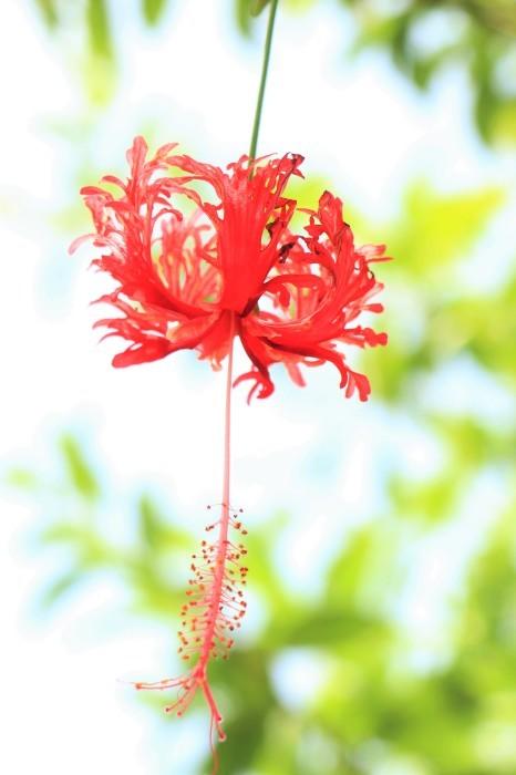 一夜しか咲かない「サガリバナ」を見に沖縄観光へ  _d0150720_17171071.jpg