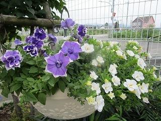 板野生活 ~夏の花~_c0218368_10560269.jpg
