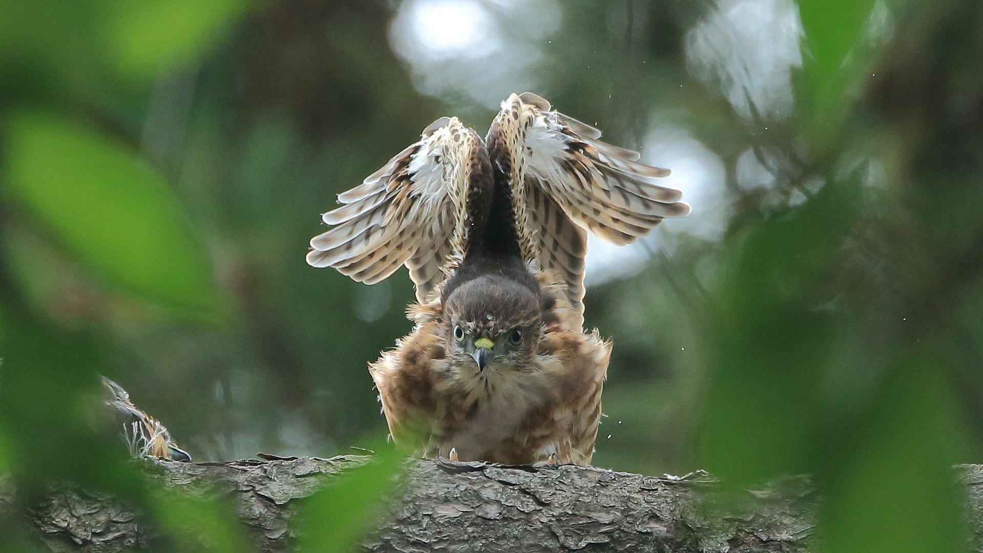 ツミ幼鳥のエンジェルポーズ_f0105570_22160656.jpg