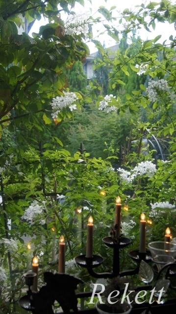 ホワイトカラーのプルンバ―ゴ ルリマツリ~❤_f0029571_23434055.jpg