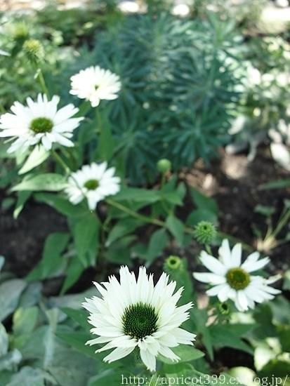 夏の庭しごと 庭に咲いた宿根草の花(エキナセア、エキノプスなど)_c0293787_16235860.jpg