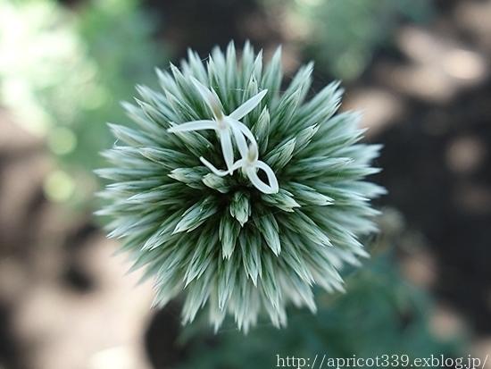 夏の庭しごと 庭に咲いた宿根草の花(エキナセア、エキノプスなど)_c0293787_16244009.jpg
