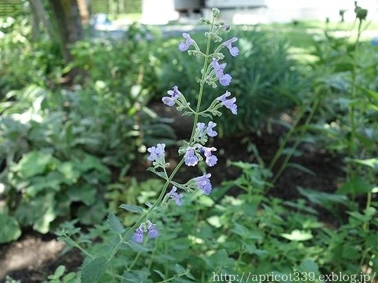夏の庭しごと 庭に咲いた宿根草の花(エキナセア、エキノプスなど)_c0293787_16244358.jpg