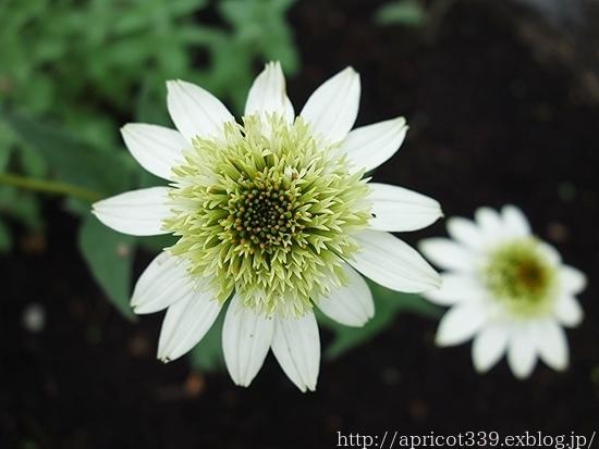 夏の庭しごと 庭に咲いた宿根草の花(エキナセア、エキノプスなど)_c0293787_16245683.jpg