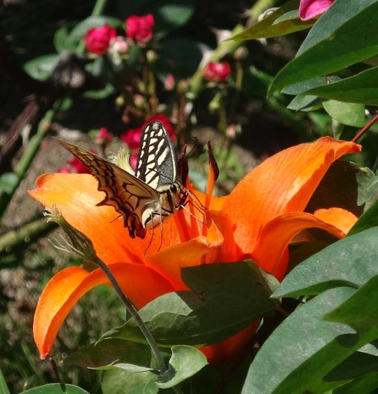 庭のお客様はキアゲハと・・・キジバトの営巣・子猫の保護など_a0136293_15525974.jpg