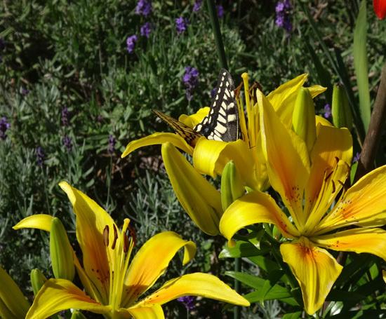 庭のお客様はキアゲハと・・・キジバトの営巣・子猫の保護など_a0136293_16005158.jpg